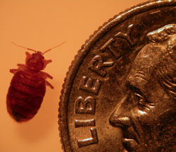 bed bug and dime